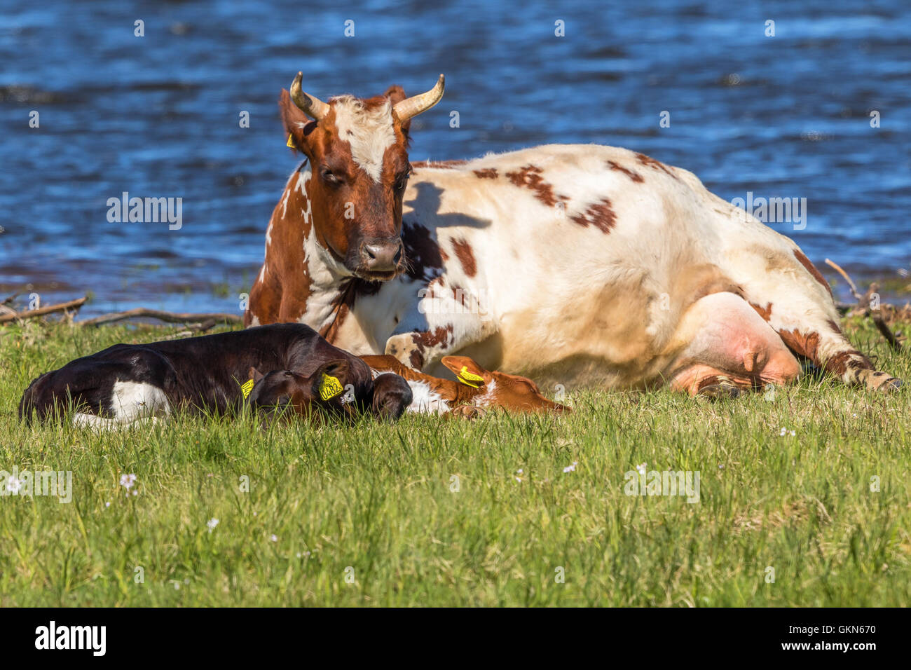 Cow with calves  lying and ruminating by the water - Stock Image