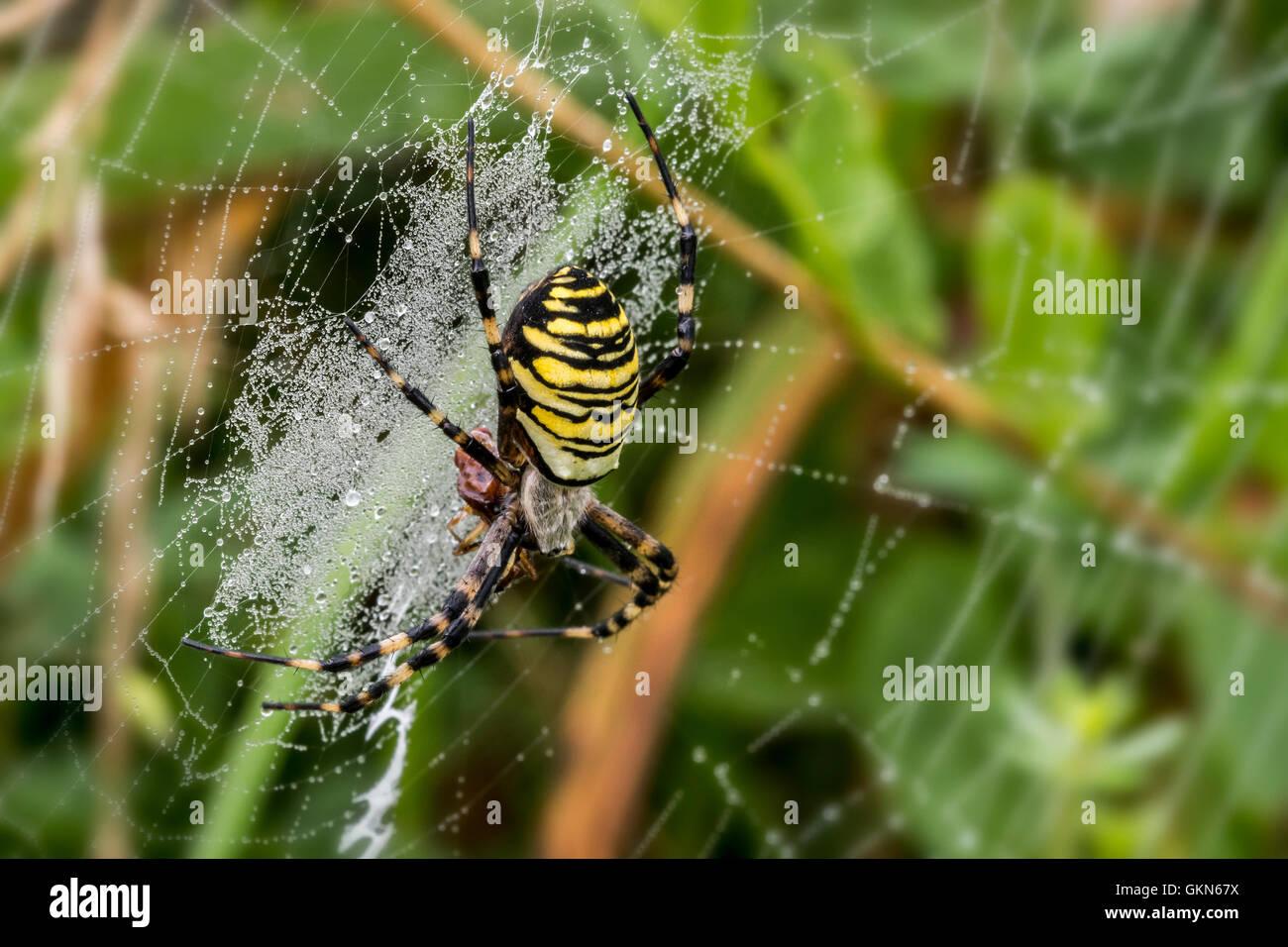 Wasp spider (Argiope bruennichi / Aranea brünnichii) feeding on caught insect in spiral orb web - Stock Image