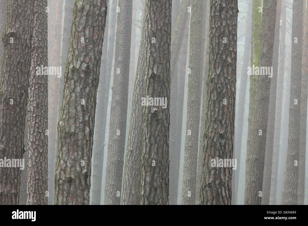 Scots Pine (Pinus sylvestris) tree trunks in coniferous forest in the mist - Stock Image