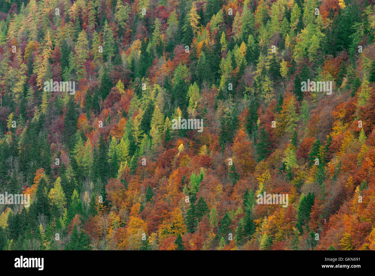 Mixed forest showing foliage of deciduous trees in colourful autumn ...