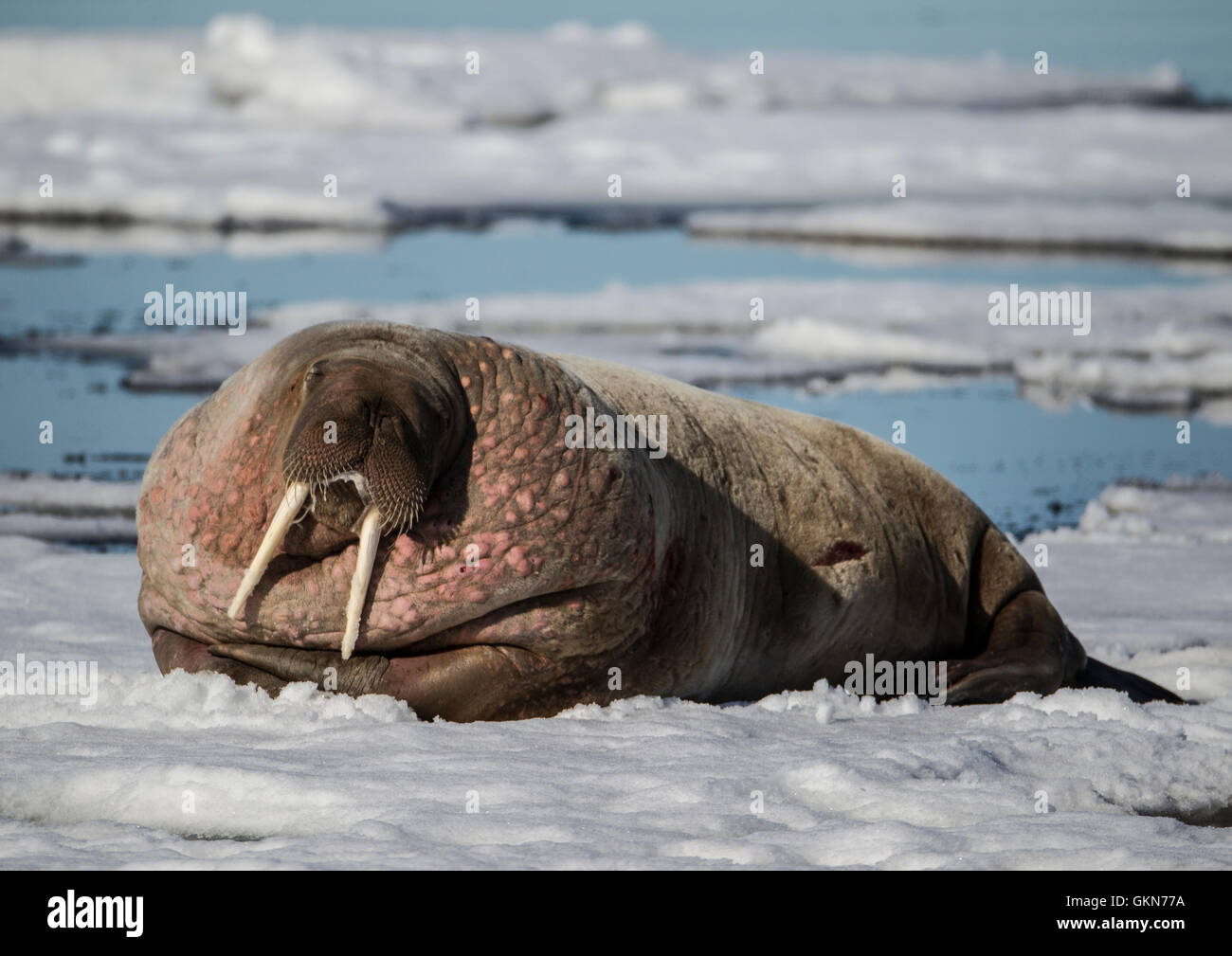 Walrus on the snow, Svalbard, Norwegian Arctic - Stock Image