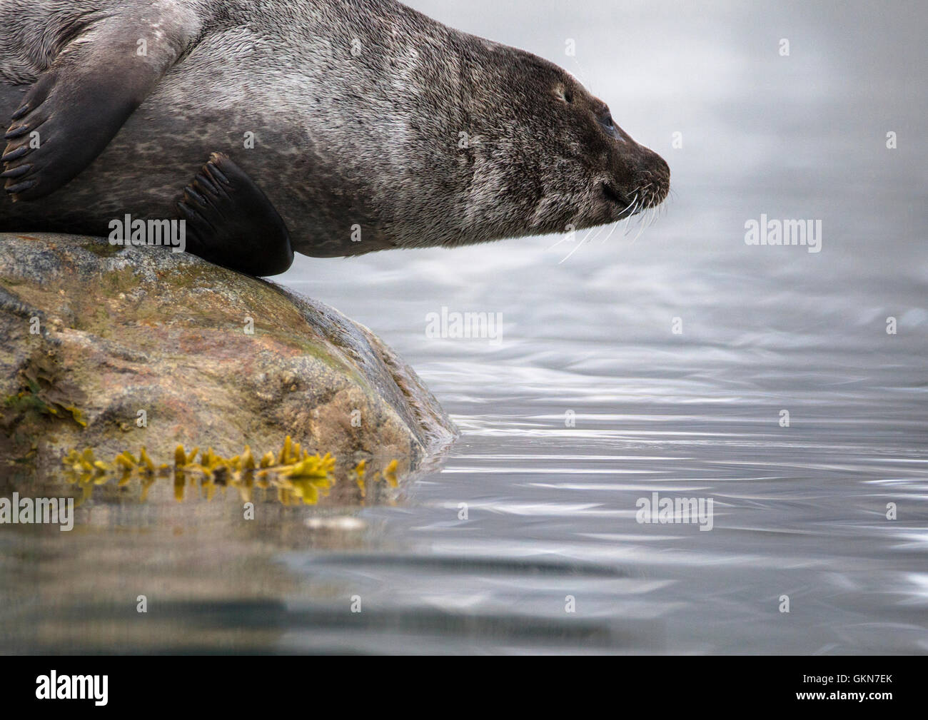 Harbor Seal on a rock looks into the still waters at his own reflection - Stock Image