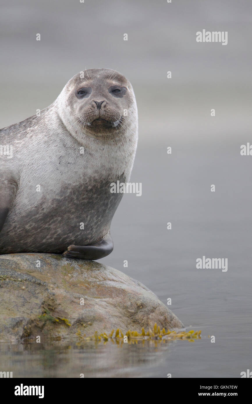 Harbor Seal poses on a rock.  Svalbard, Arctic - Stock Image