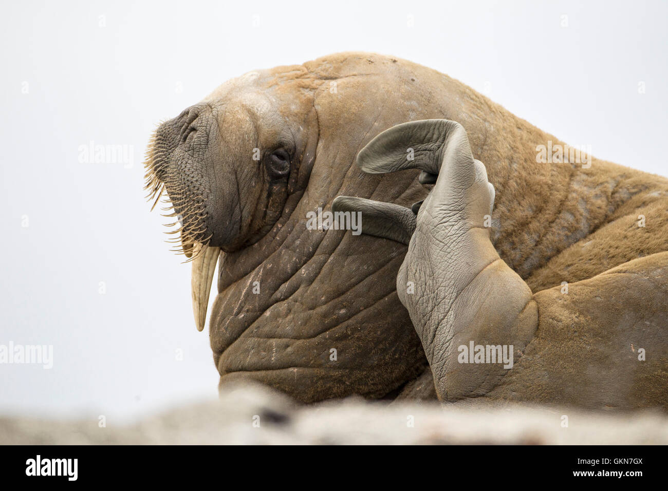 Walrus scratching at a haul-out - Stock Image