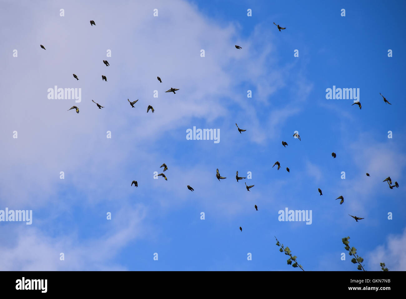 Flock of goldfinch birds Stock Photo