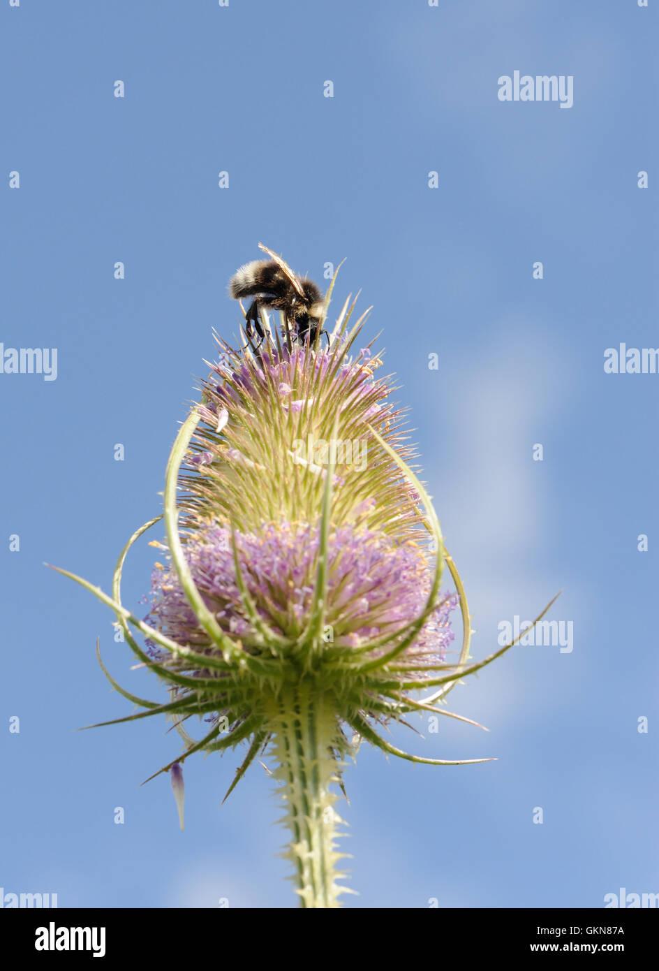 A parasitic cuckoo bee the gypsy cuckoo bumblebee (Bombus bohemicus) feeding on a teasel (Dipsacus fullonum) flower - Stock Image
