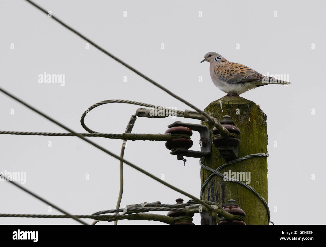 A European Turtle Dove Streptopelia Turtur Calling From The Top Of