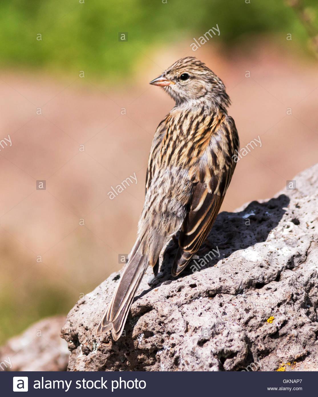 Chipping Sparrow Spizella passerina juvenile Arizona - Stock Image