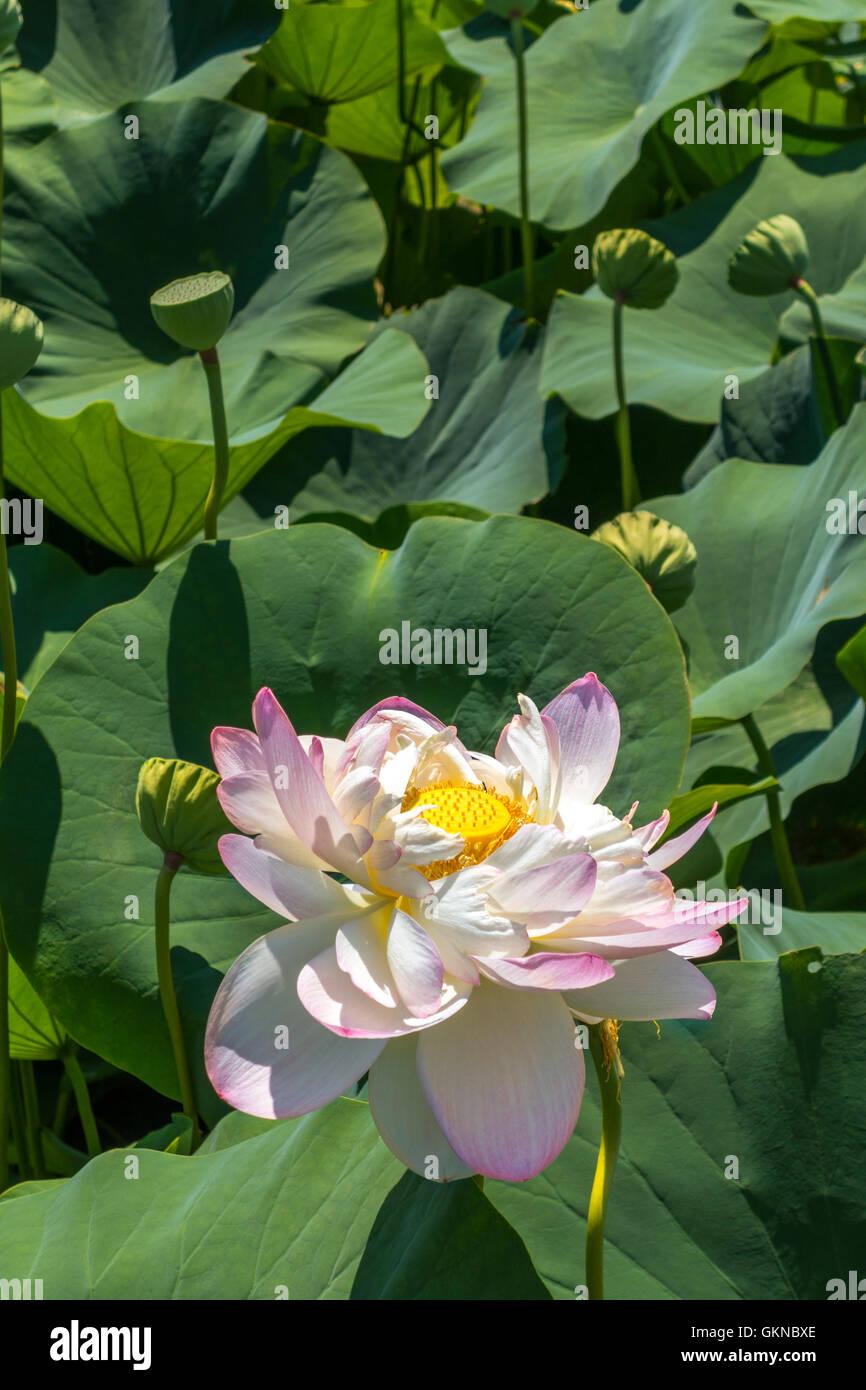 Lotus in Washington DC Kenilworth Park and Aquatic Gardens - Stock Image