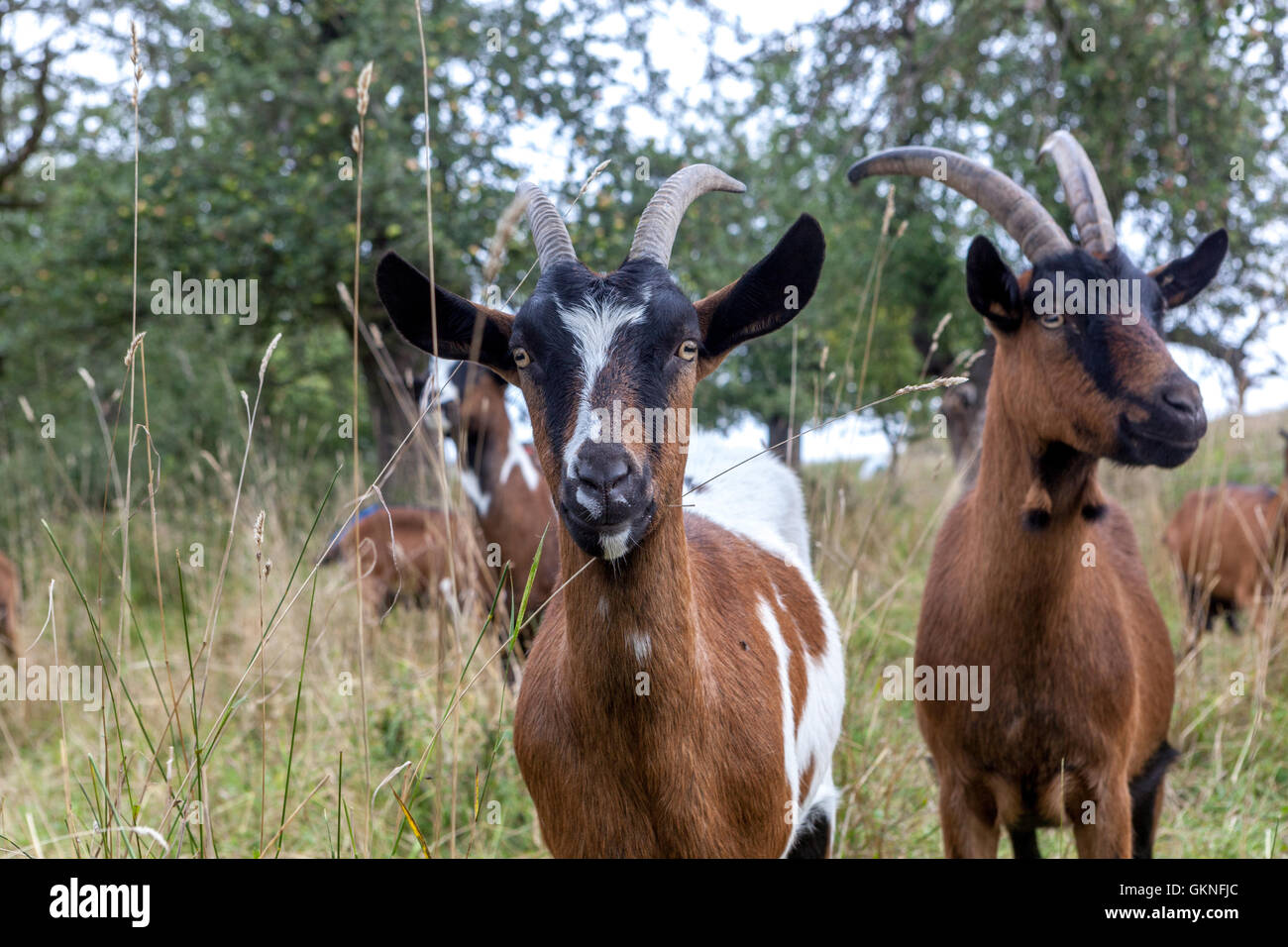 Goats with horns, Czech Republic - Stock Image