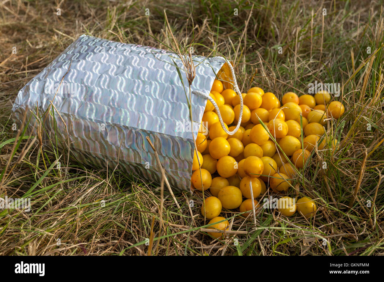 Yellow fruit myrobalans that spilled out of the bag, Czech Republic - Stock Image