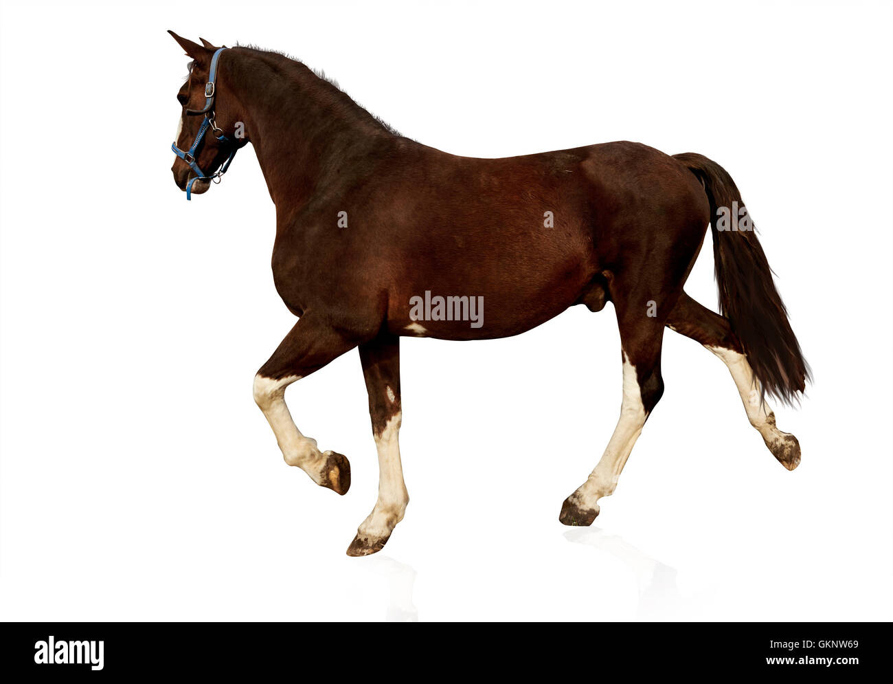 Brown horse isolated on white background - Stock Image