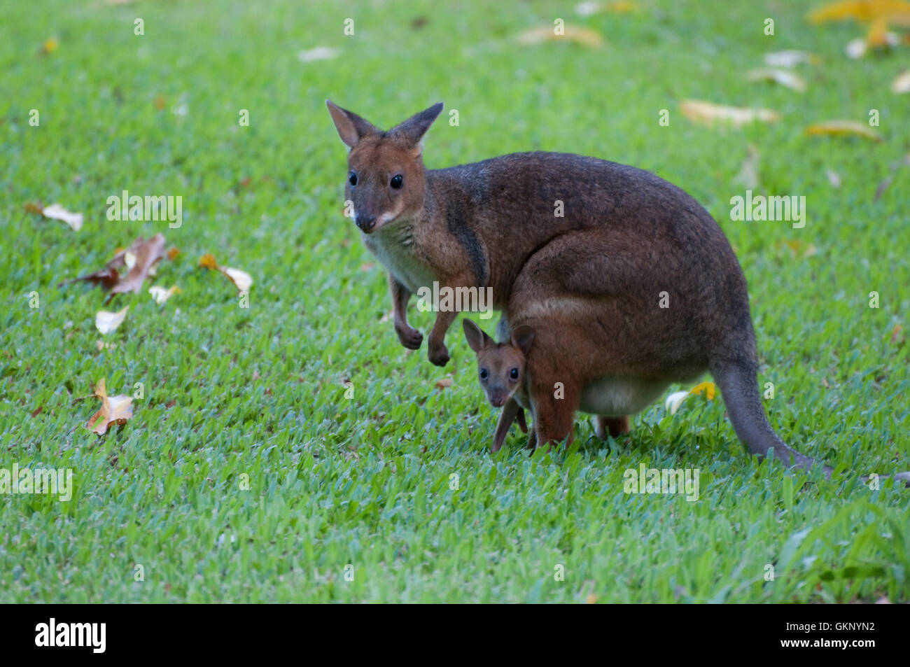 Red-legged Pademelon (Thylogale stigmatica) with joey - Stock Image