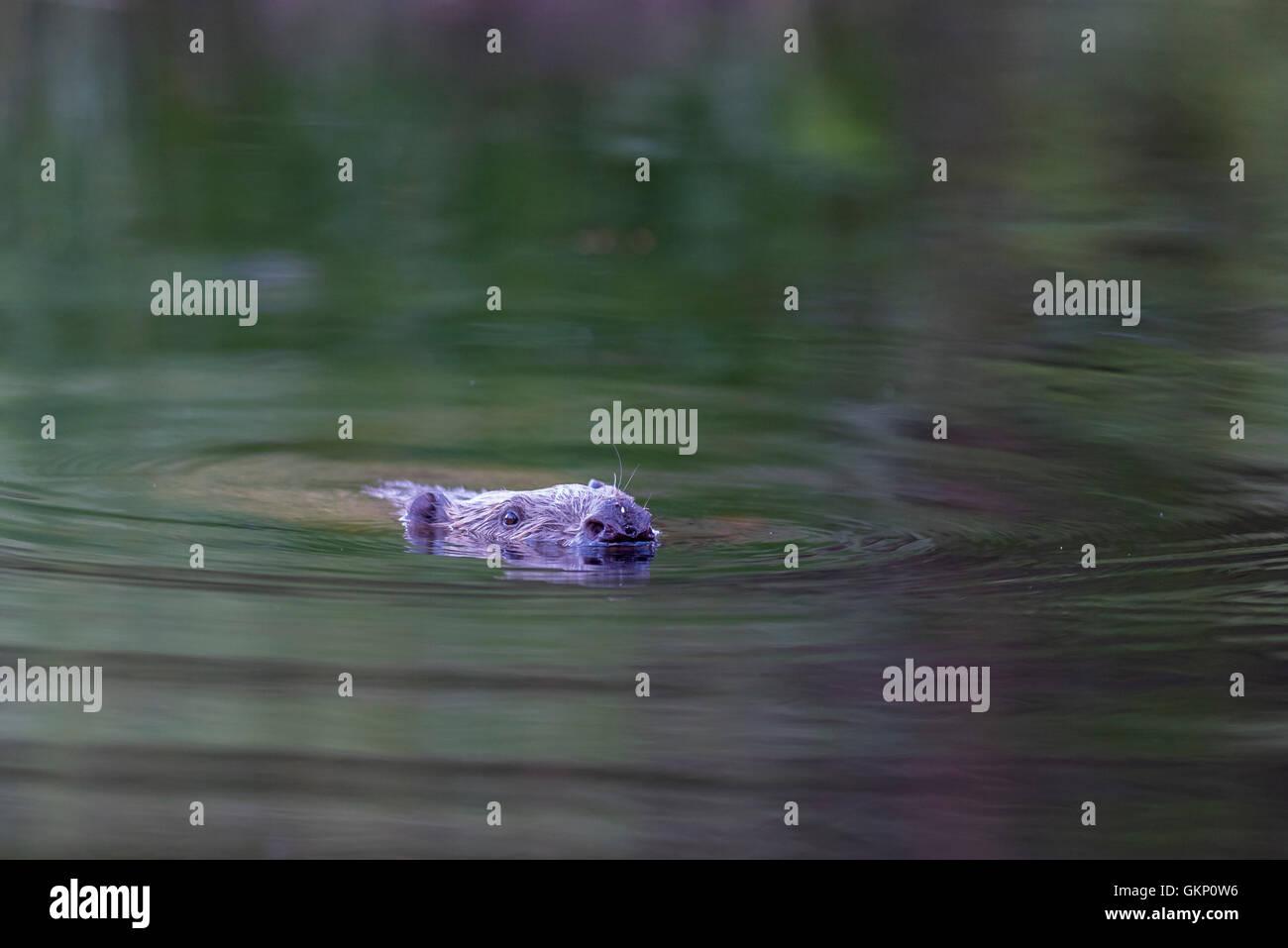 bäver, Castor, Castoridae, gnagare, vattendjur, bäverdamm, fördämning, byggare, beaver, Castor, Castoridae, rodents, Stock Photo