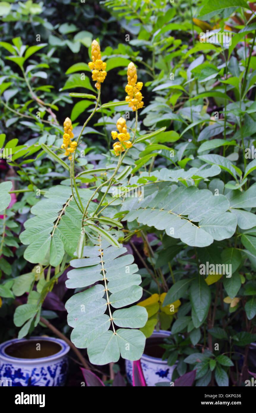 Yellow flower of digestive herb tree name ringworm bush also called yellow flower of digestive herb tree name ringworm bush also called as cassia alata acapulo candelabra bush candle bush can mightylinksfo