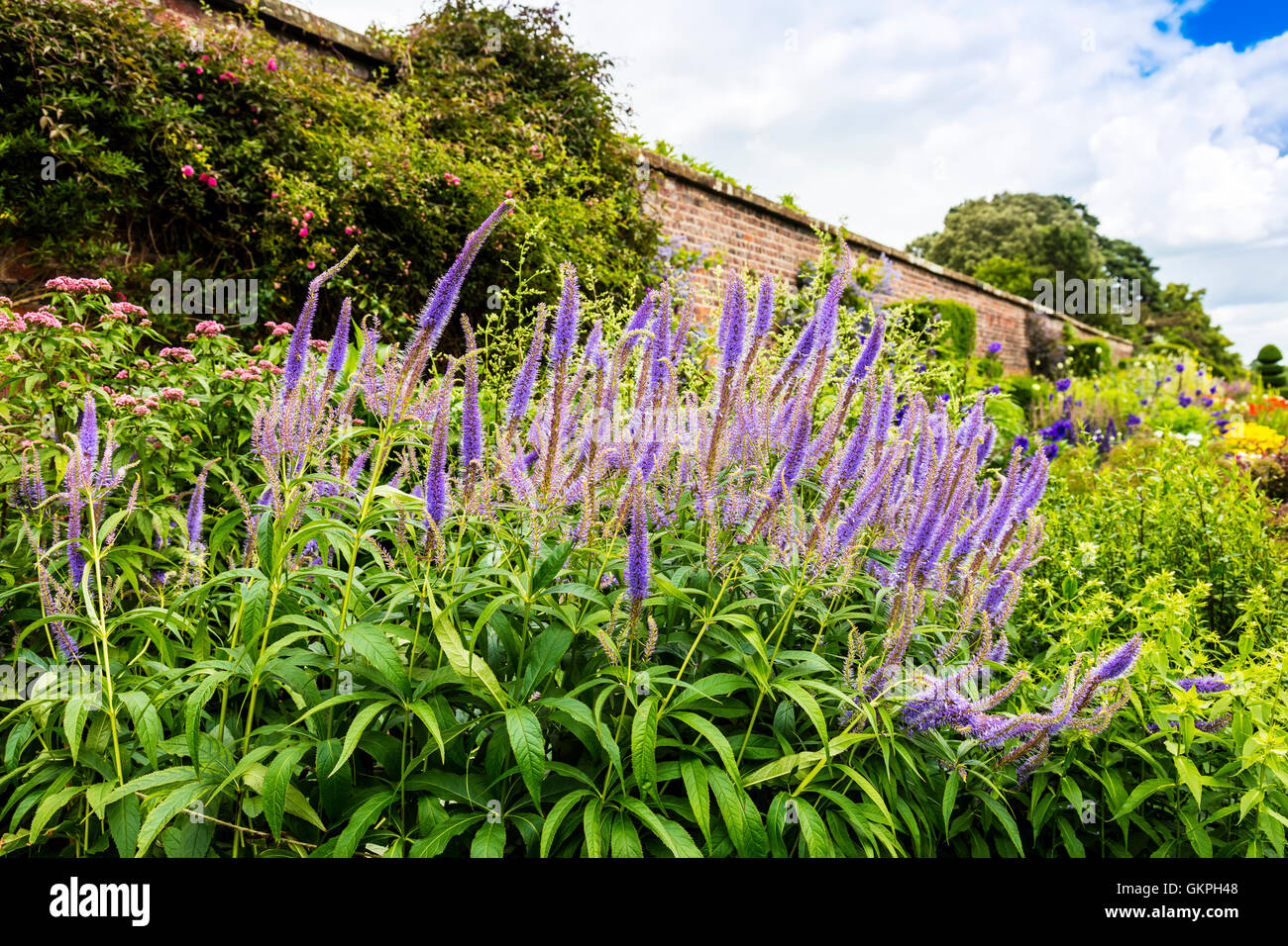 Tall blue flowering plant Agastache in a herbaceous border. - Stock Image