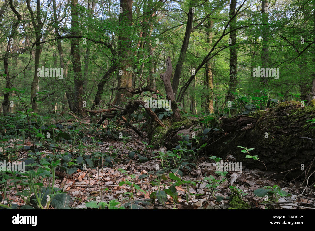 Old fallen rotten tree laying in a Natural forest / Naturwaldzelle / Urspruenglicher Laubwald. Stock Photo