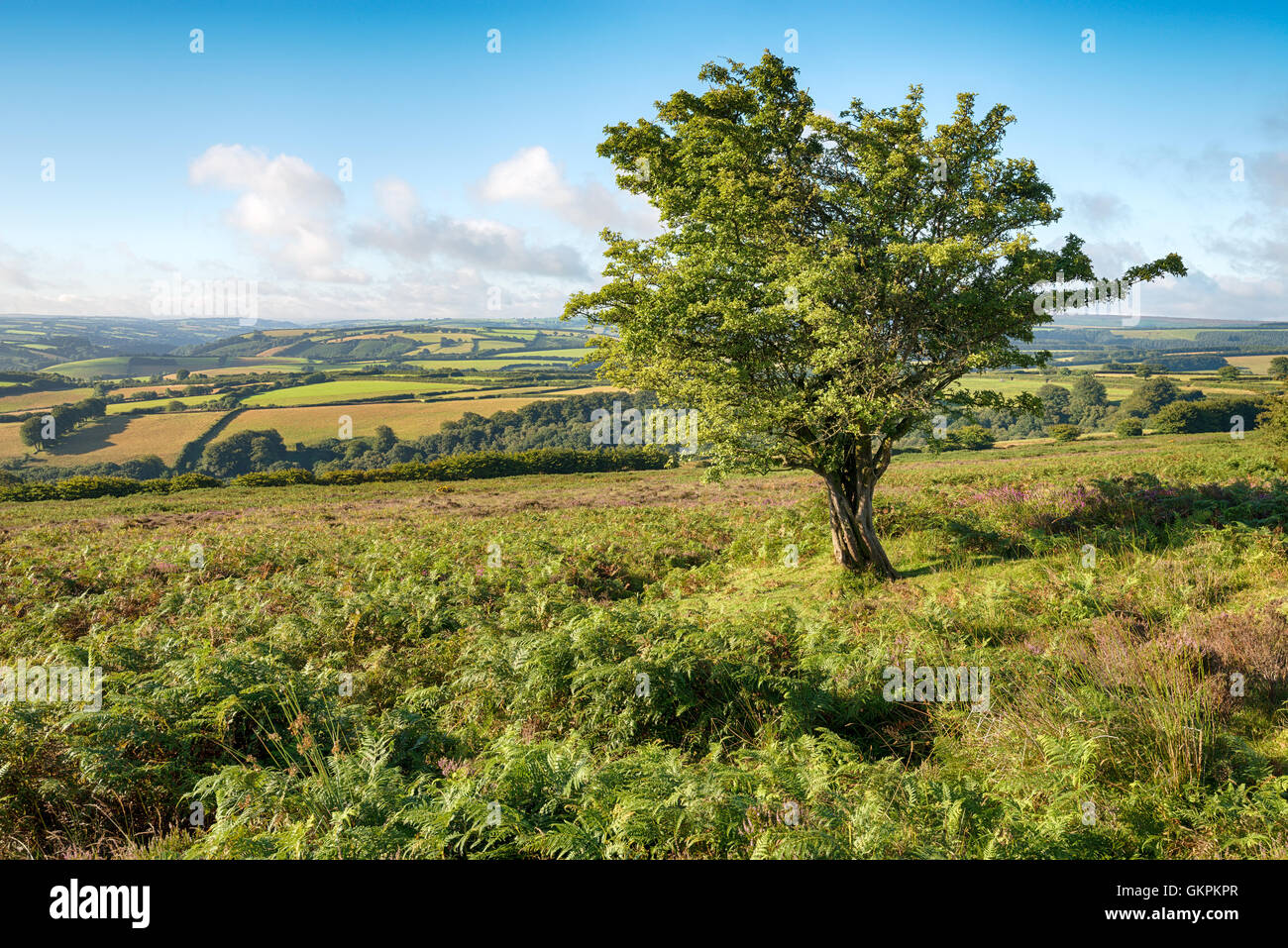 A gnareled hawthorn tree grwoing on moorland on Dunkery Hill on Exmoor national Park in Devon - Stock Image
