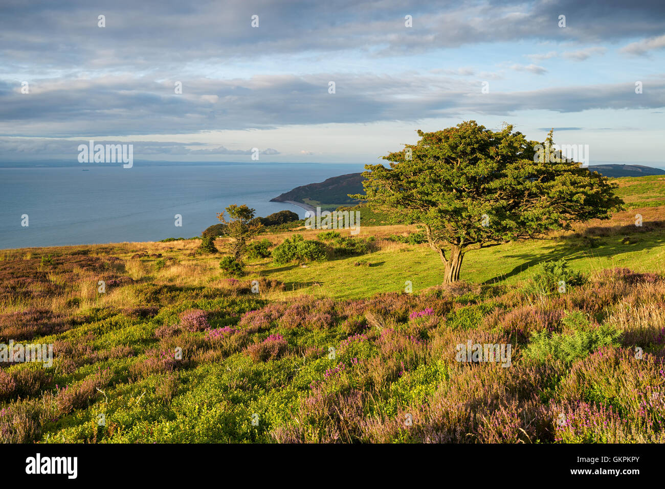 A gnarled old hawthorn tree groing on Porlock Common on the Somerset coast - Stock Image