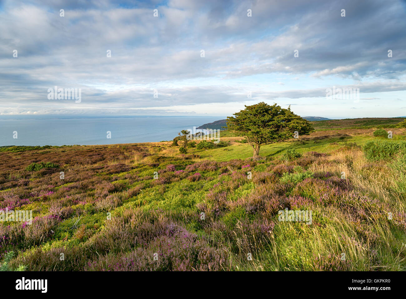 A hawthorn tree on Porlock Common on the Exmoor coastline in Somerset - Stock Image