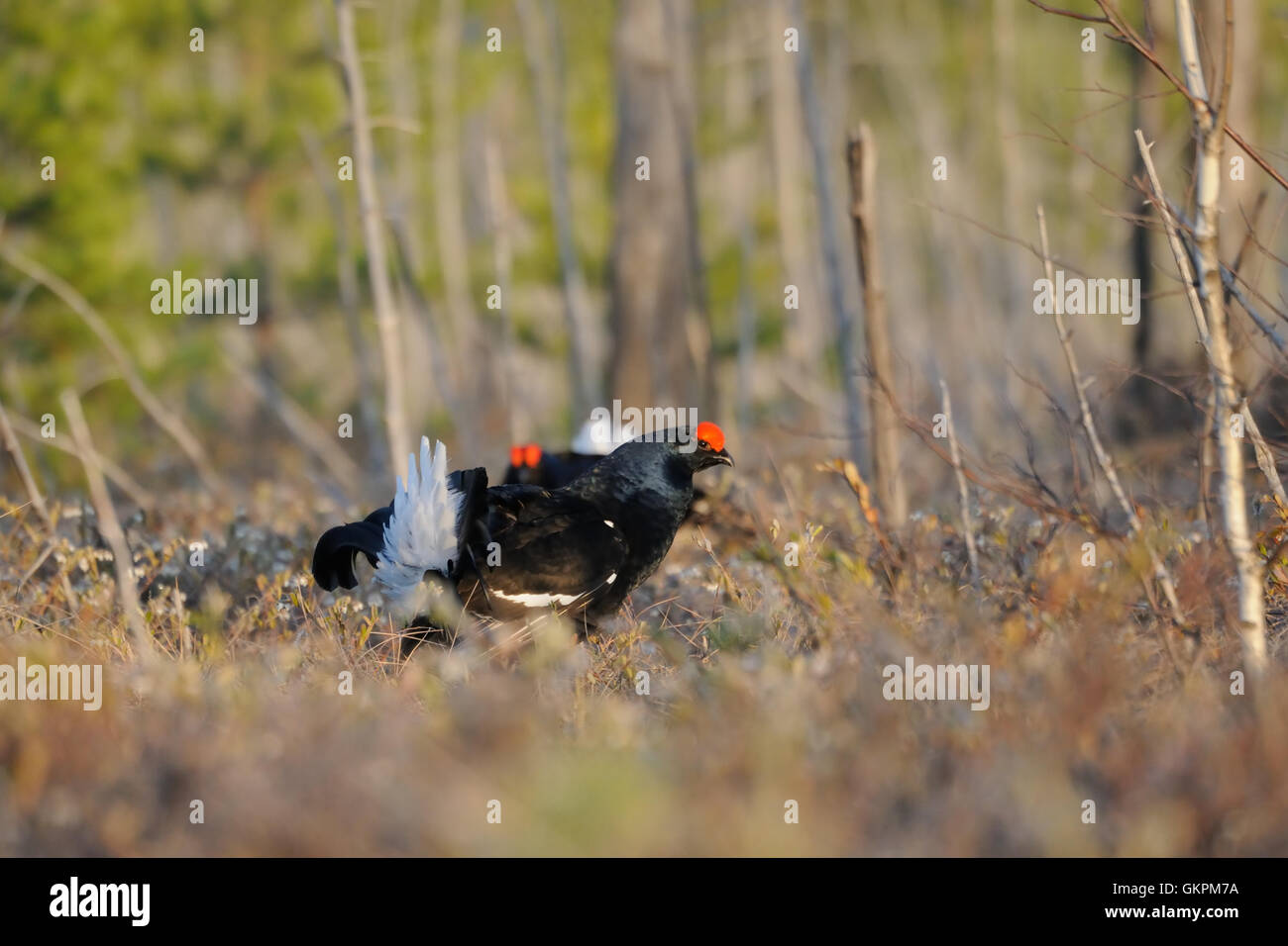Male Black Grouses (Tetrao tetrix) at swamp courting place early in the morning. - Stock Image