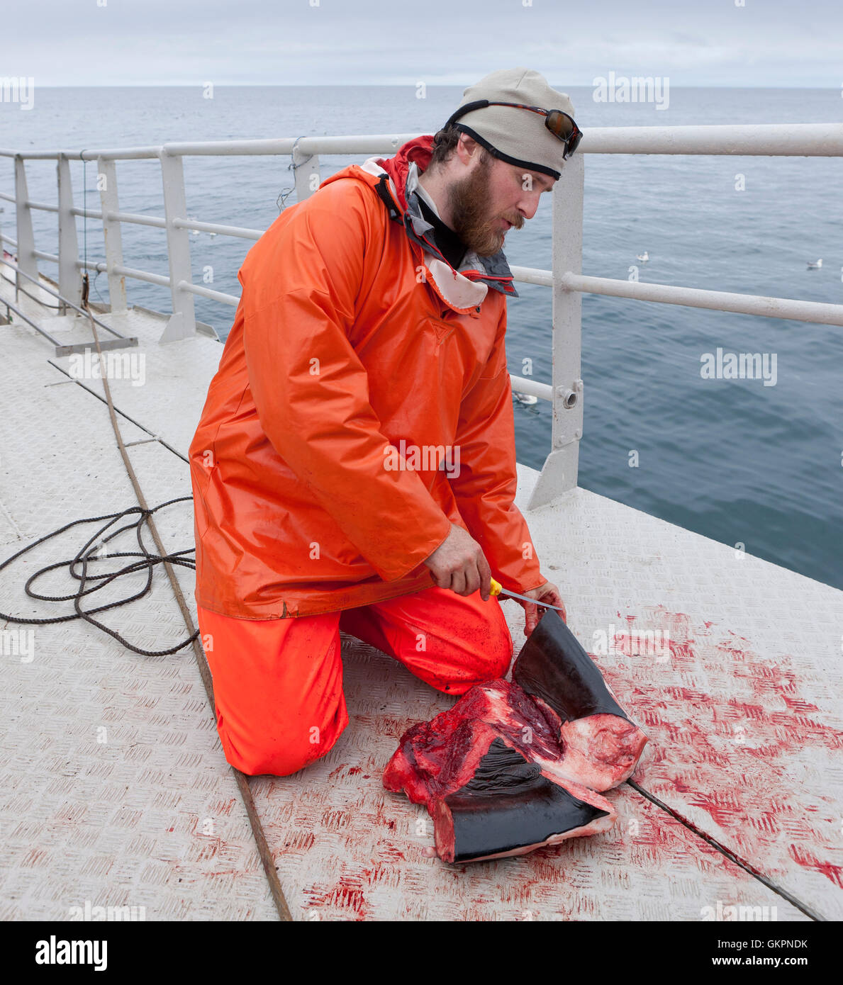 Research scientist cuts a piece of meat from a Minke Whale, Hrafnreydur KO-100, whaling ship, Iceland - Stock Image