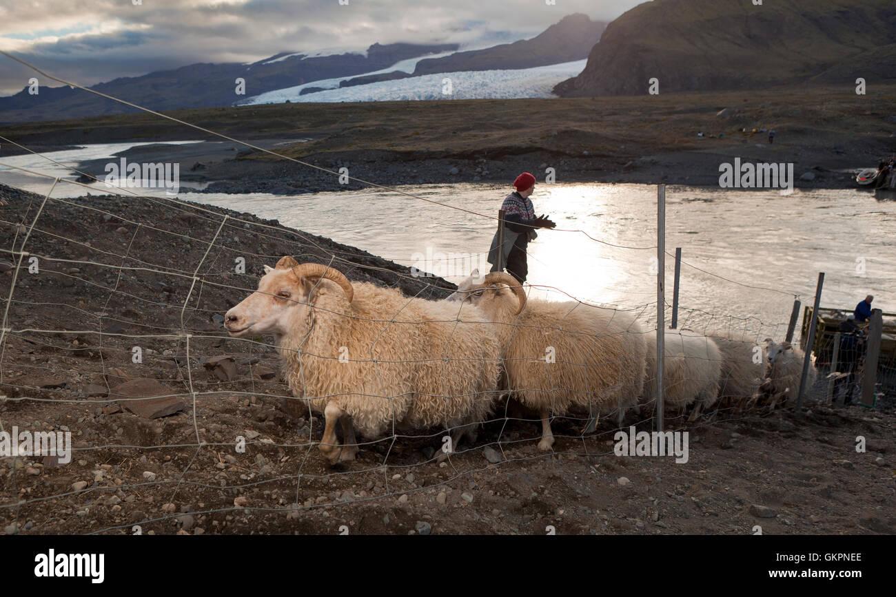 Sheep round-up, Breidarmerkurjokull glacier in the background, Eastern Iceland - Stock Image