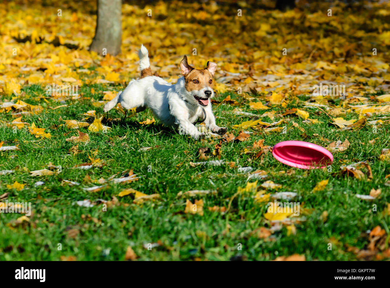 Dog running and playing with flying disk on yellow leaves - Stock Image