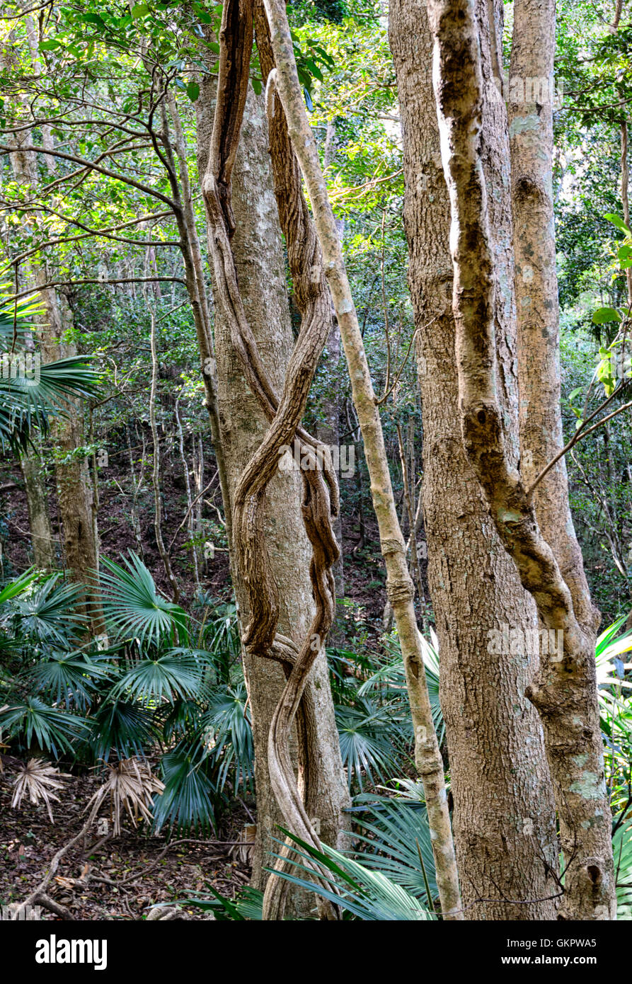 Twisted Lianas growing in the temperate Minnamurra Rainforest Centre, New South Wales, NSW, Australia - Stock Image