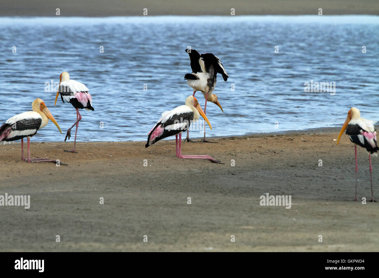 The painted stork is a large wading bird in the stork family. It is found in the wetlands of the plains of tropical - Stock Image