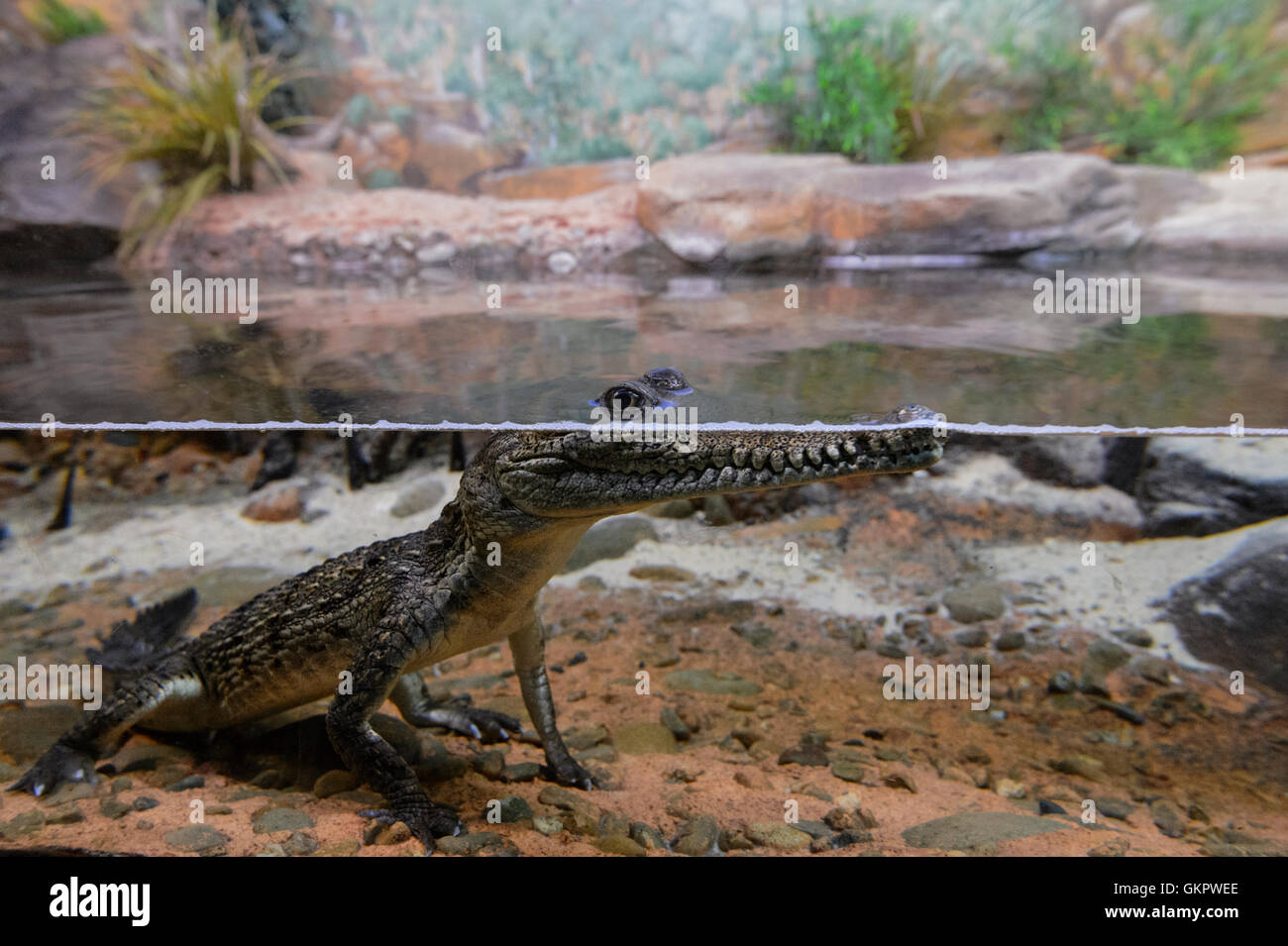Young Freshwater Crocodile (Crocodylus johnstoni), Australia - Stock Image