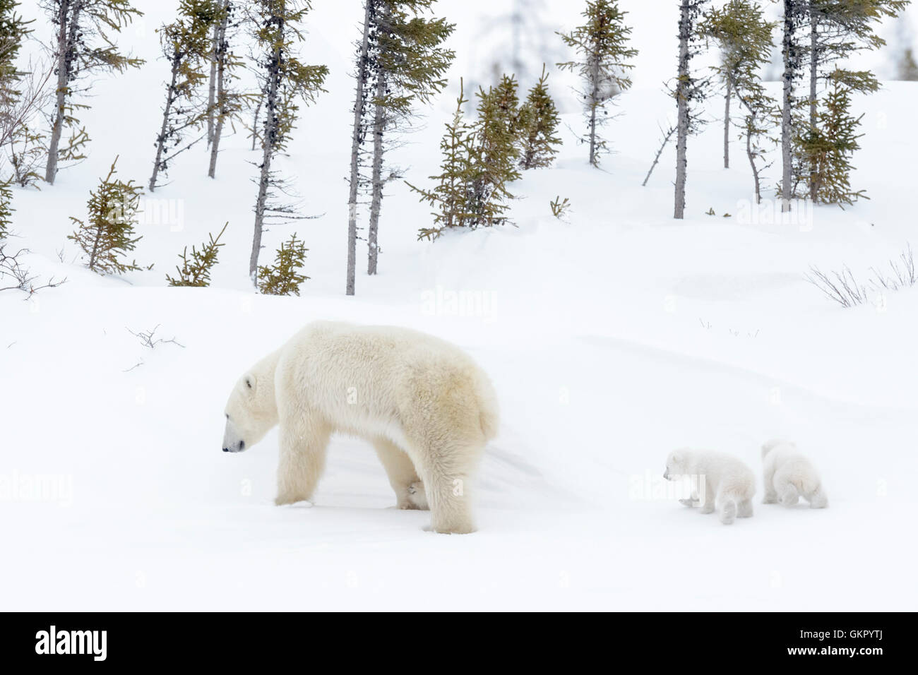 Polar bear mother (Ursus maritimus) walking on tundra with two new born cubs, Wapusk National Park, Manitoba, Canada - Stock Image