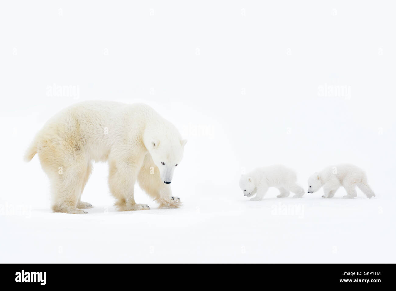 Polar bear mother (Ursus maritimus) standing on tundra with two new born cubs, Wapusk National Park, Manitoba, Canada - Stock Image