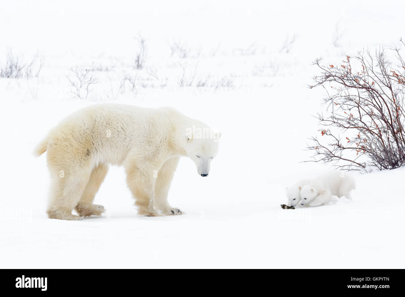 Polar bear mother (Ursus maritimus) standing on tundra with two new born cubs sniffing on mother's poo, Wapusk - Stock Image