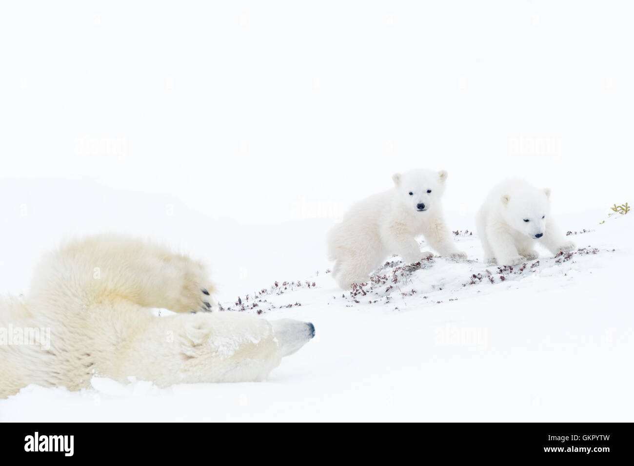 Polar bear mother (Ursus maritimus) sliding down, playing with two new born cubs, Wapusk National Park, Manitoba, - Stock Image