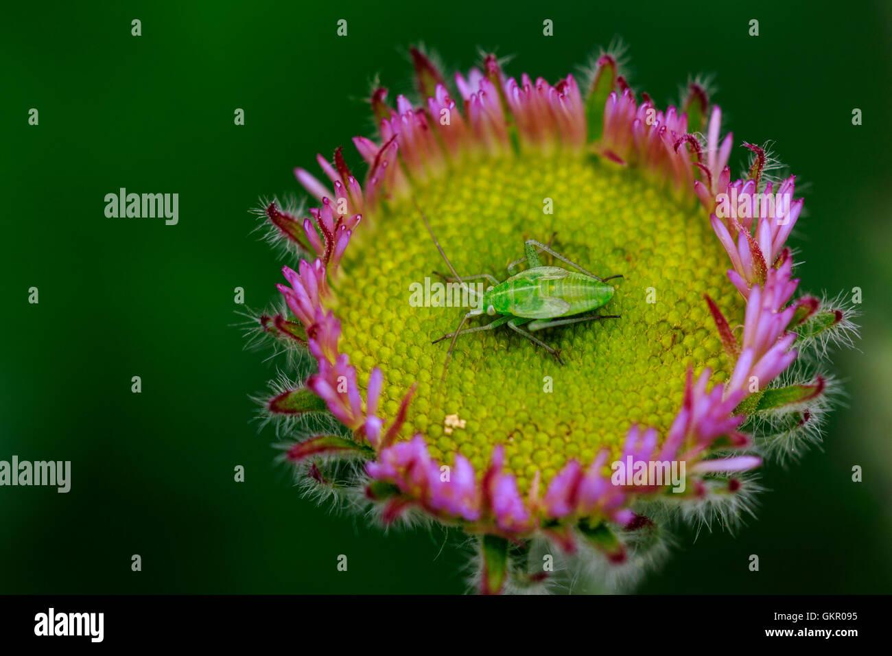 Mirid (Capsid) Bug Stenotus binotatus nymph on a Seaside Daisy flower - Stock Image