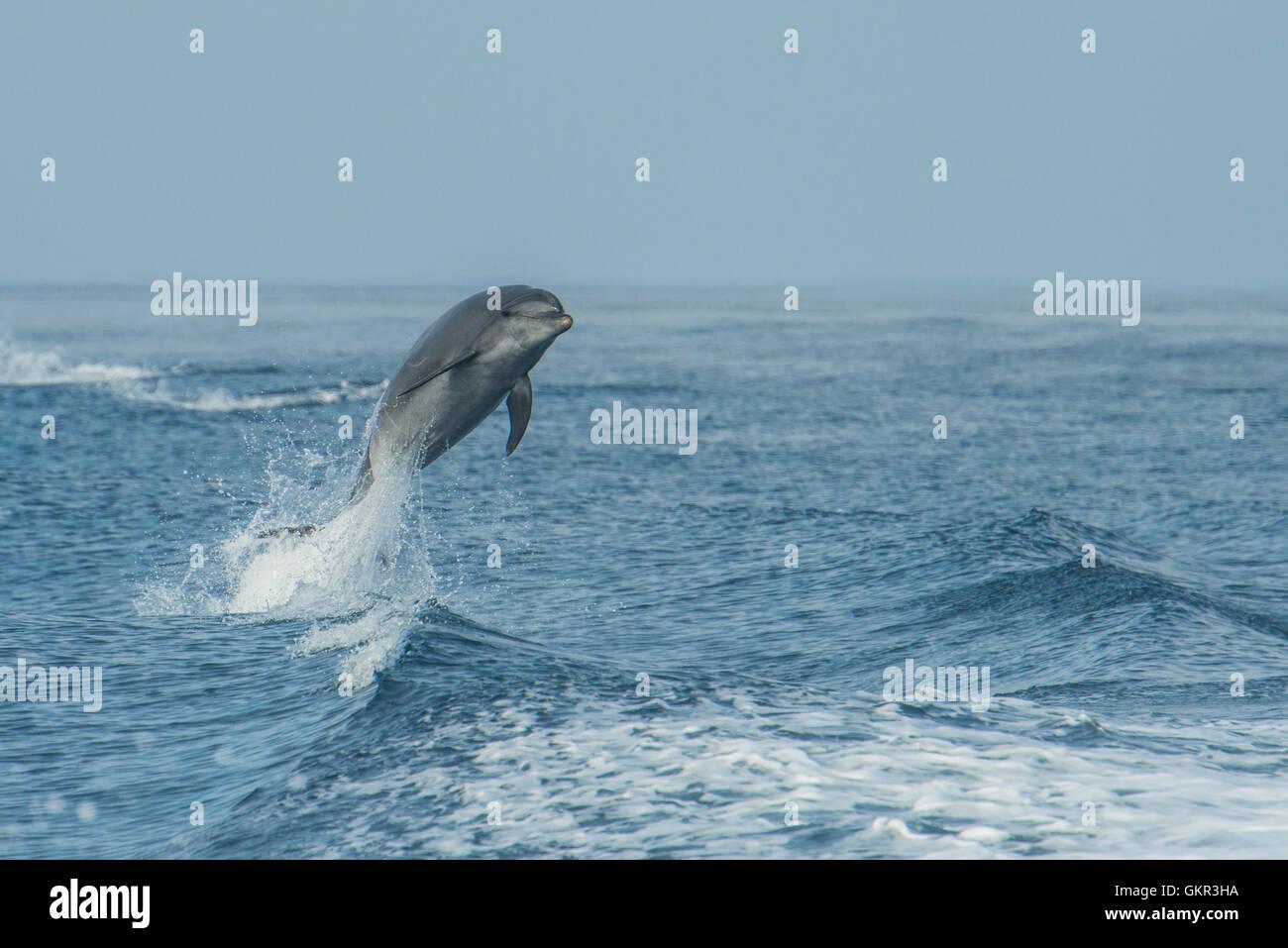 Common bottlenose dolphin (Tursiops truncatus) - Stock Image