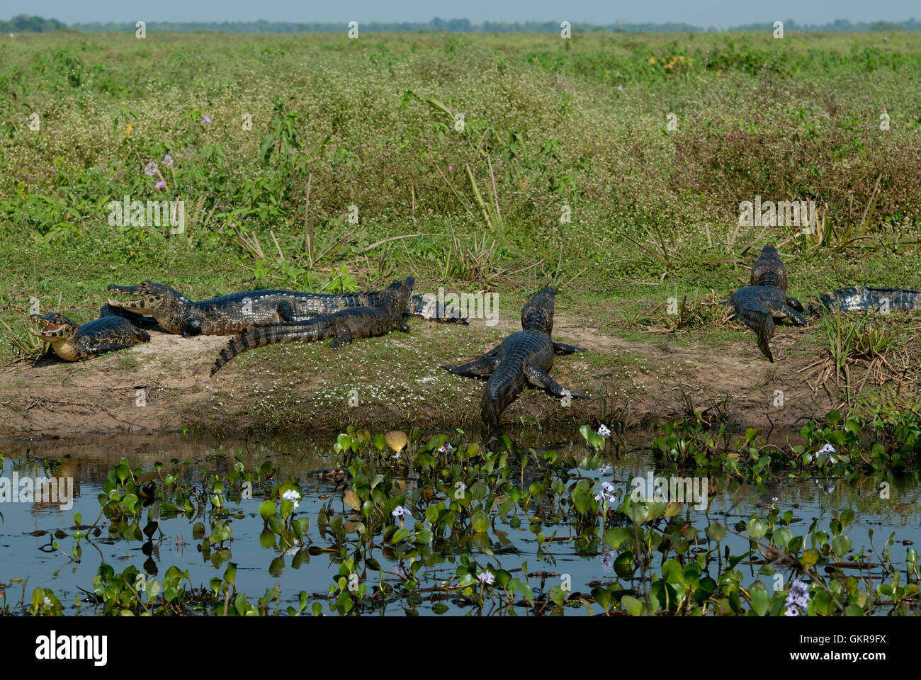 Yacare caiman (Caiman yacare) on a riverbank in the Pantanal, Brazil - Stock Image