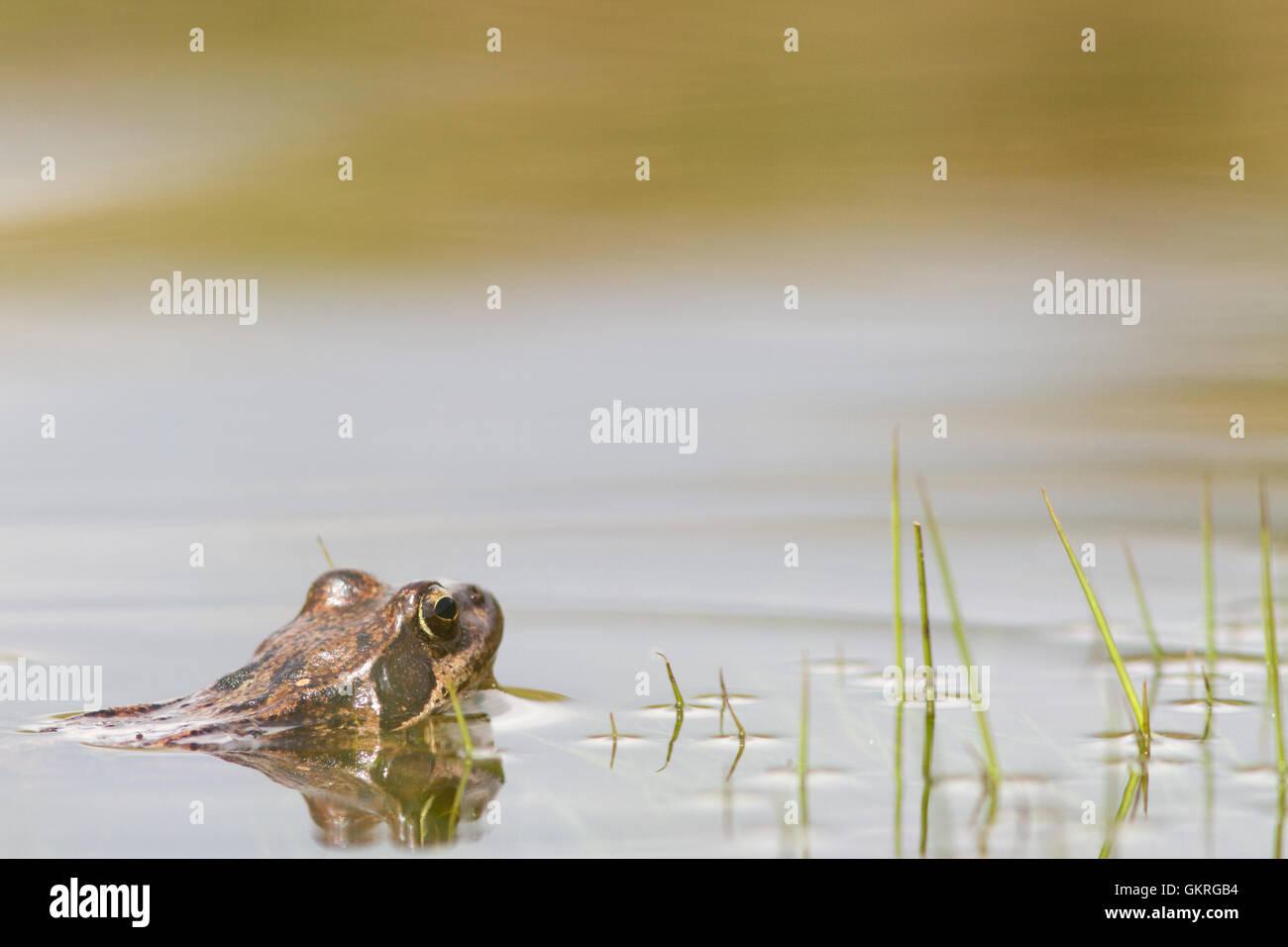 Common frog ( Rana temporaria ) in the water, italian Alps - Stock Image