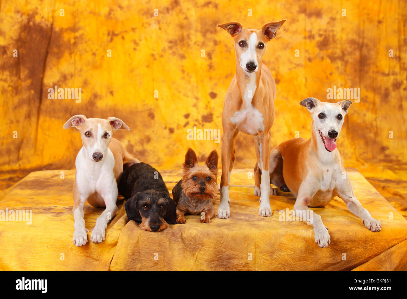 Yorkshire Terrier, Miniature Wirehaired Dachshund and Whippet Yorkshire Terrier, Zwergrauhaardackel und Whippet Stock Photo