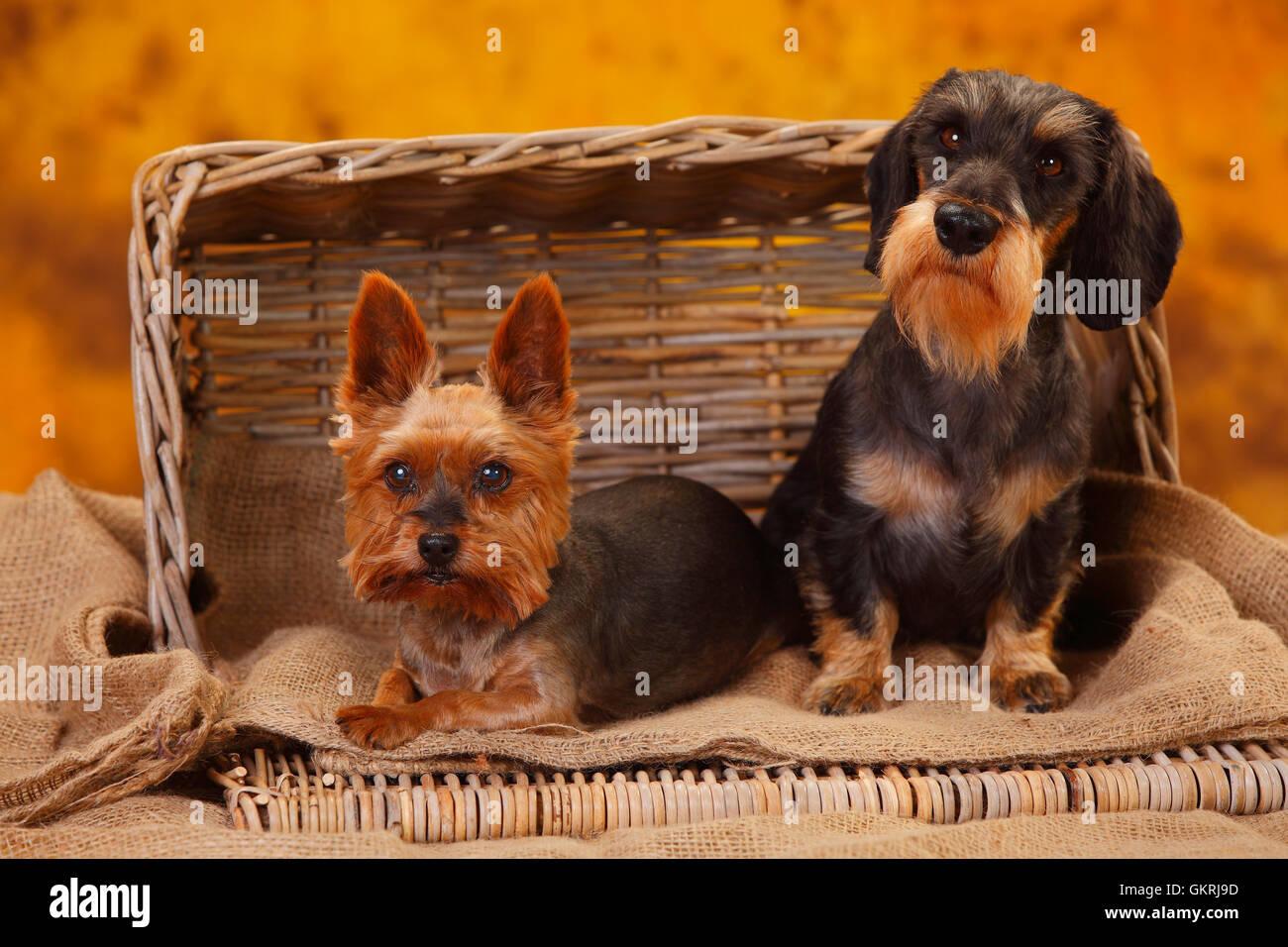 Yorkshire Terrier and Miniature Wirehaired Dachshund|Yorkshire Terrier und Zwergrauhaardackel Stock Photo