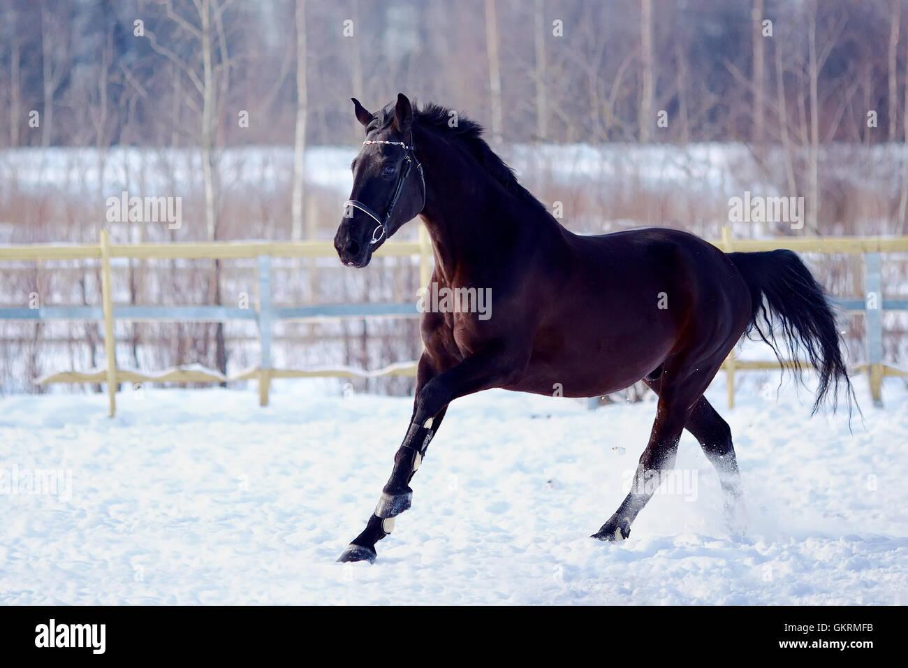 Skipping sports black stallion. Stock Photo