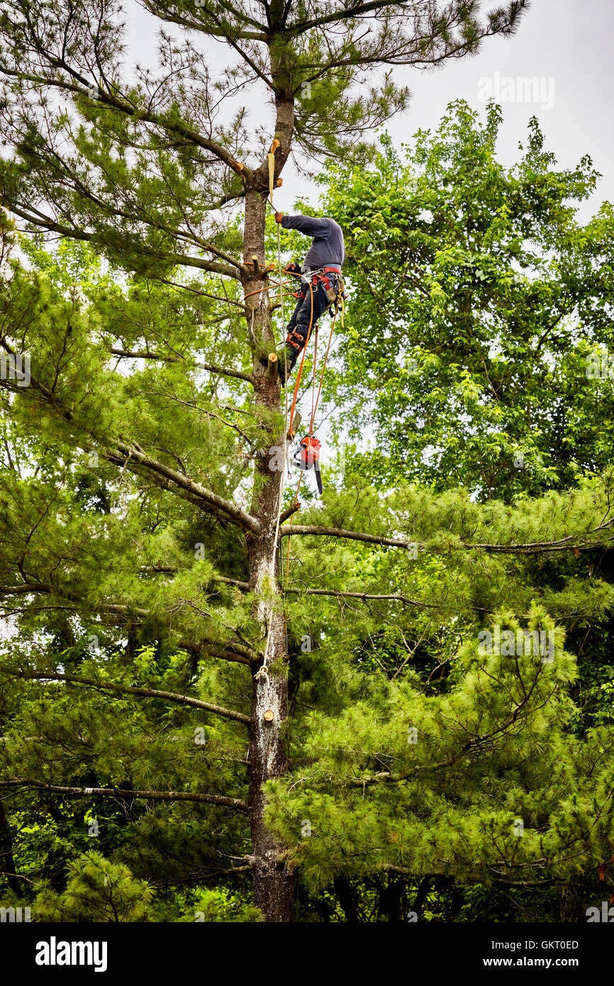 Professional Tree trimmer preparing to cut limbs on a tall pine tree - Stock Image