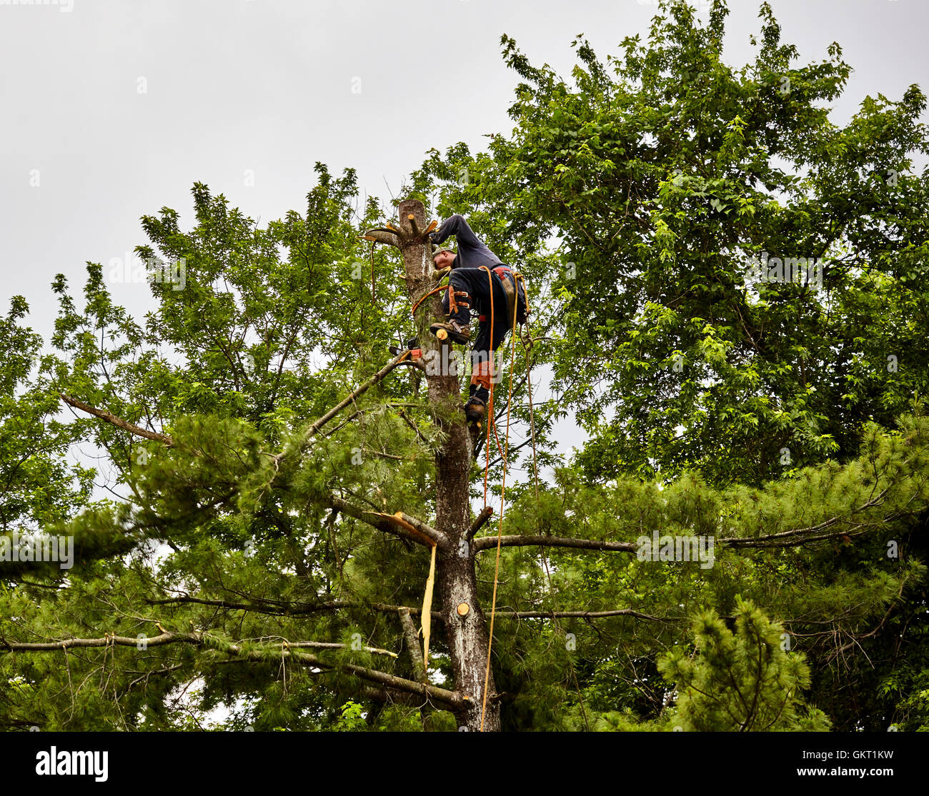 Professional Tree trimmer cutting branches off of a tall pine tree with a chain saw - Stock Image