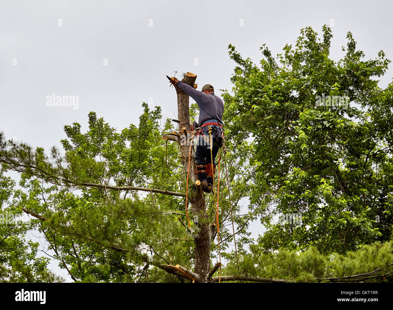 Professional Tree trimmer cutting the top of a tree trunk with a chain saw - Stock Image