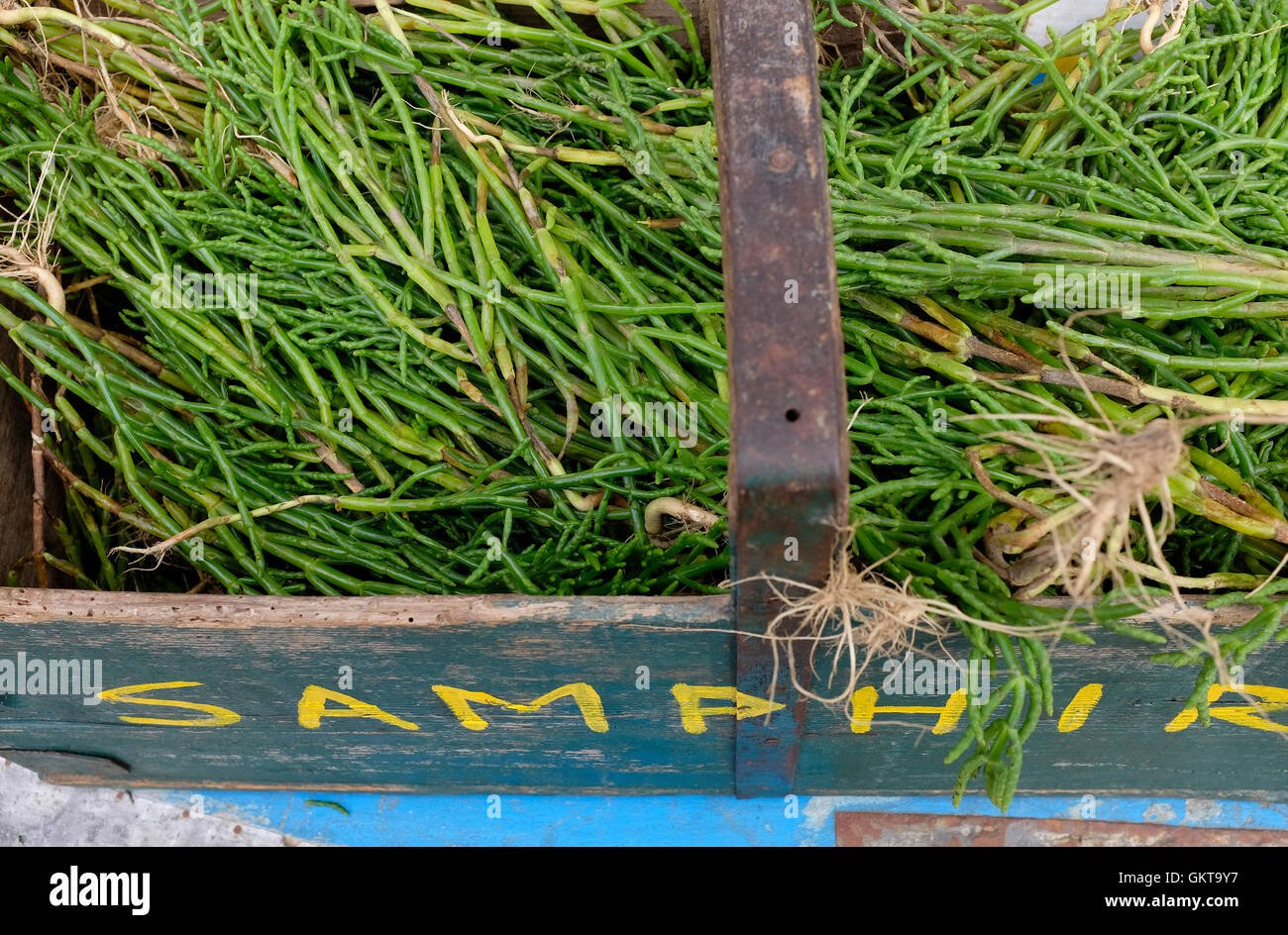 locally picked samphire in wooden box, north norfolk, england - Stock Image