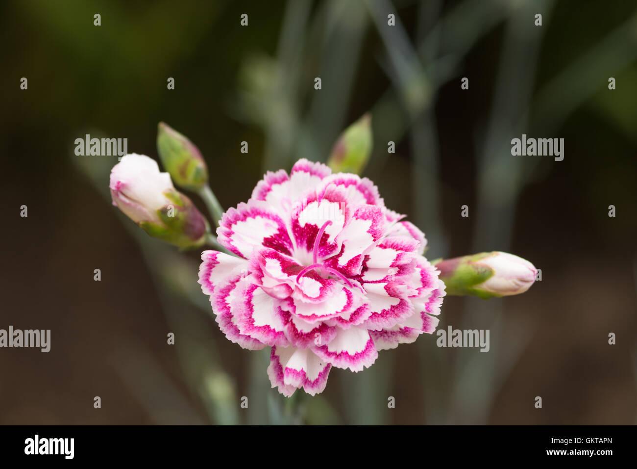 Dianthus 'Grans favourite' - Stock Image