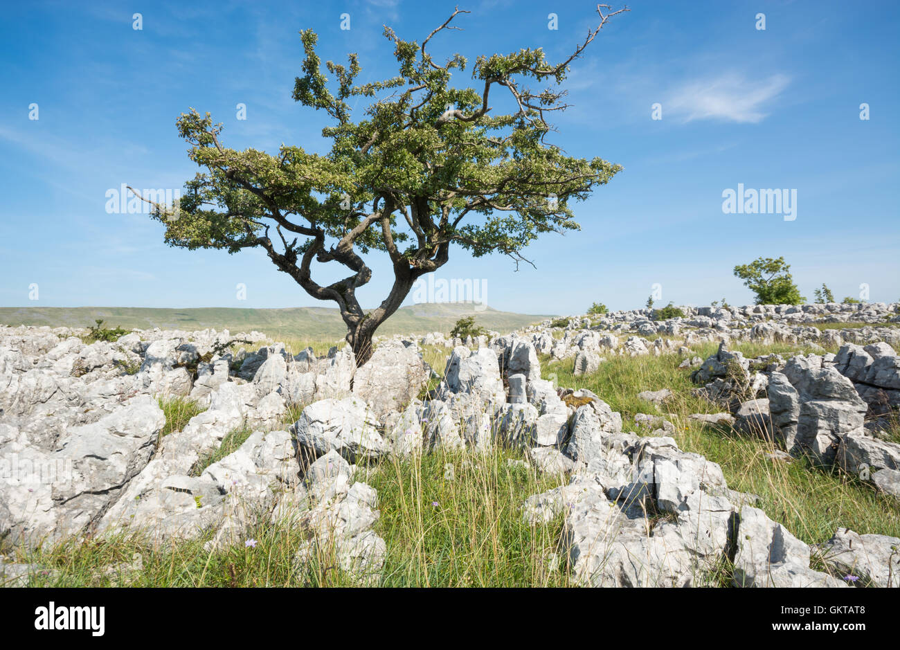 Hawthorn tree on the limestone pavements with Whernside in the distance - Stock Image