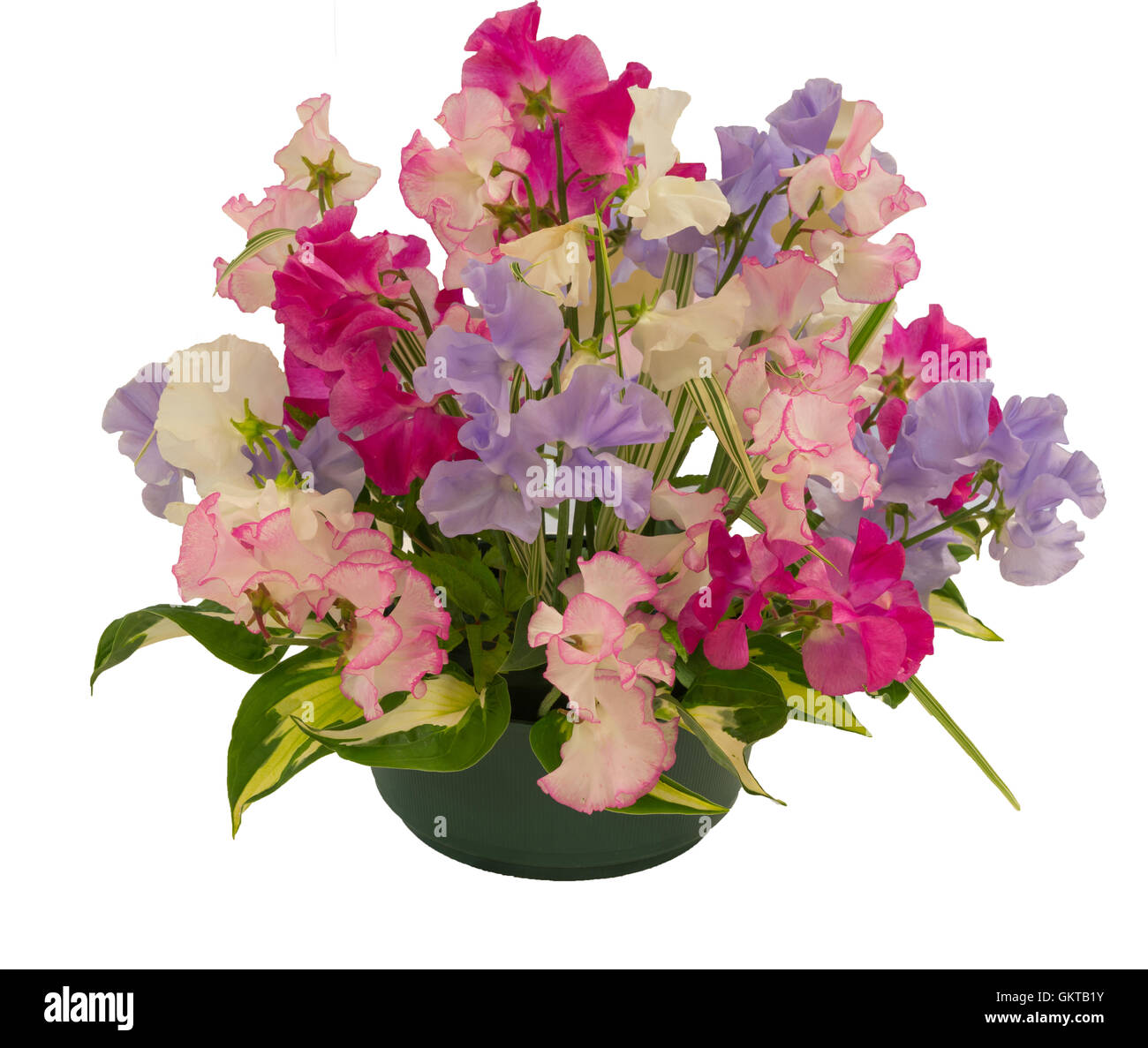Sweet Pea flower arrangement on a white background - Stock Image