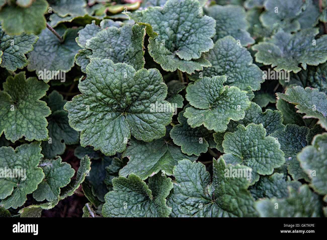 Tellima Grandiflora, clumping perennial plant with hairy and scalloped leaves. Green leaves background and wallpaper. - Stock Image